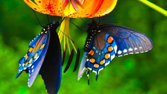 Sute de specii de fluturi ar putea dispărea din cauza schimbărilor climatice