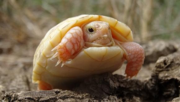 Curiozitate: broască ţestoasă a fost atinsă de albinism