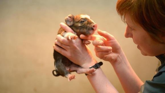Porci pitici vor fi modificaţi genetic, pentru a rămâne mici. Cu cât vor fi vânduţi apoi