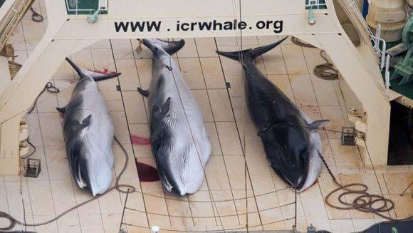 Japonia revoltă lumea: se reîncepe vânătoarea de balene, ''de dragul ştiinţei''. VIDEO