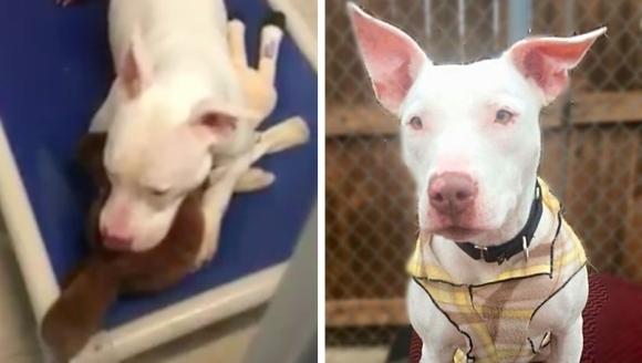 Pitbull-ul surd plânge strângându-şi în braţe jucăria! Motivul? Cel mai bun prieten a fost adoptat fără el – VIDEO