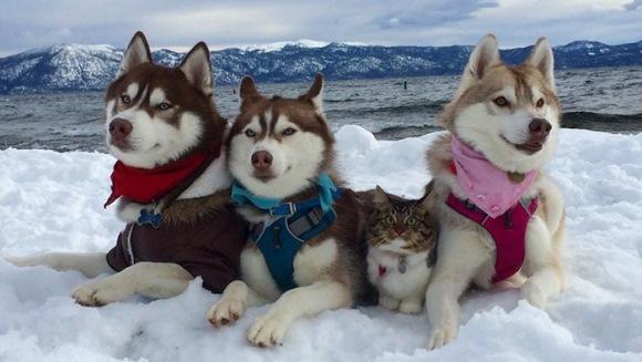 3 câini din rasa husky au devenit cei mai buni prieteni cu o pisică, după ce aceasta a fost salvată de la moarte - Galerie Foto