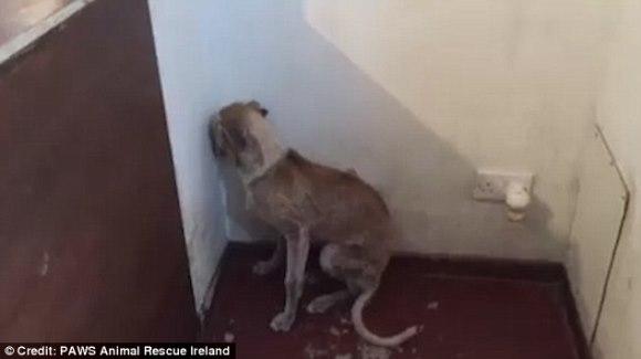 După ani întregi de abuz, un câine nu îndrăzneşte să privească decât spre colţul camerei - VIDEO emoţionant