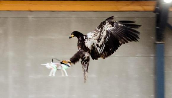 Poliţia olandeză va folosi vulturi special dresaţi, într-o misiune extrem de ciudată – VIDEO