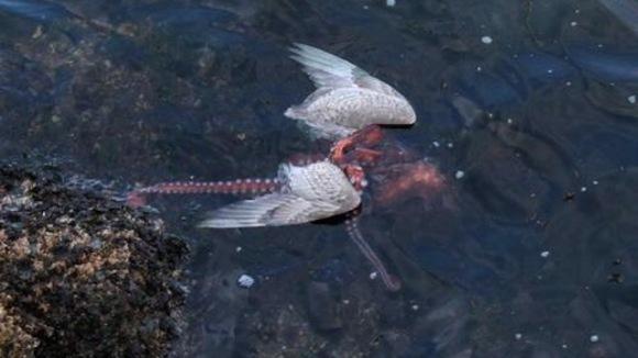 Caracatița și pescărușul, care pe care? Imaginile uimitoare în care animalul acvatic îneacă și mănâncă pasărea (VIDEO)