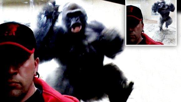 Gorila le transmite un mesaj clar vizitatorilor: își vrea libertatea înapoi! Atenție: VIDEO cu puternic impact emoțional