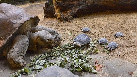 O broască țestoasă a devenit mămică la 80 de ani. Specia sa este pe cale de dispariție - Galerie Foto