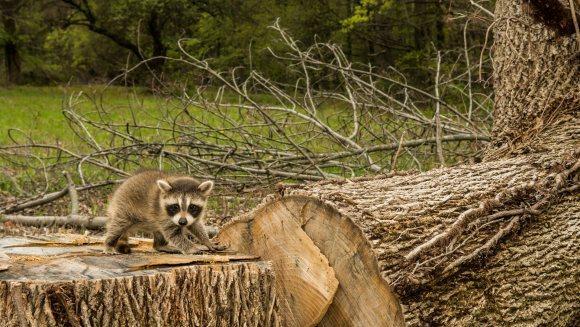 Imaginea cu puiul de raton stând speriat pe rămășițele casei lui te va face sa conștientizezi importanța protejării naturii