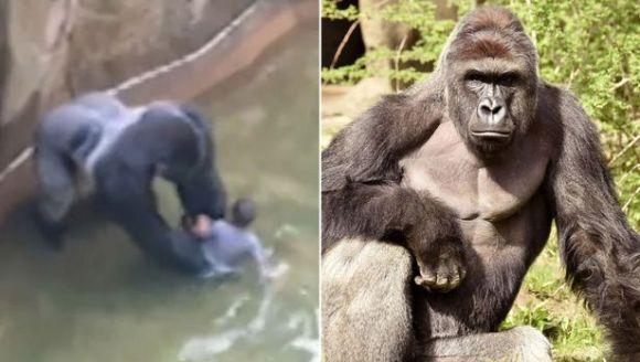 O gorila a fost împuşcată, după ce un băieţel a căzut în ţarcul animalului, la zoo