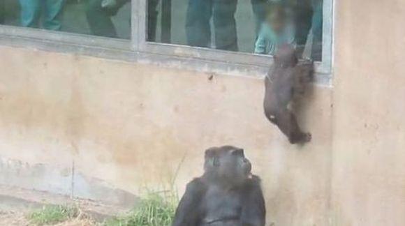 Locul gorilelor nu este între pereți!  VIDEO revoltător