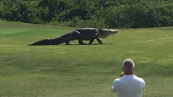 Aligator uriaș, la plimbare pe un teren de golf din Florida – VIDEO