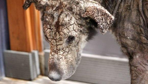"""Câinele """"împietrit"""" care se temea de atingerea umană iubește acum mângâierile pe burtică - Foto și Video"""