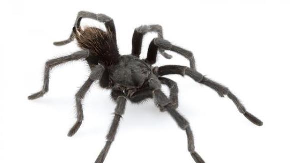 O nouă specie de tarantulă ''magic realistă'', descoperită în Columbia. Cum a fost botezată
