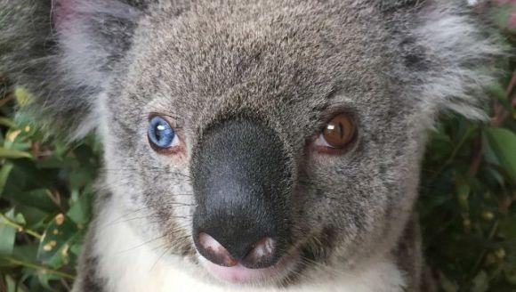 Au dat cu mașina peste un koala extrem de rar: are un ochi albastru și unul maroniu