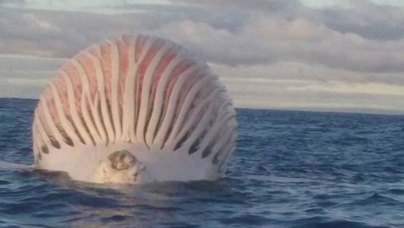 Un balon roz şi urât mirositor plutea în apele Oceanului Indian. Despre ce creatură este vorba