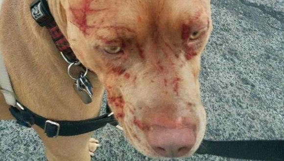 Șapte pitbulii au avut nevoie de îngrijiri medicale, după ce au fost atacați de... o pisică! - Galerie Foto