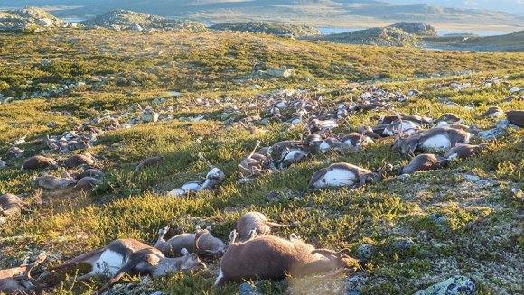 323 de reni sălbatici ucişi de fulgere în timpul unei furtuni