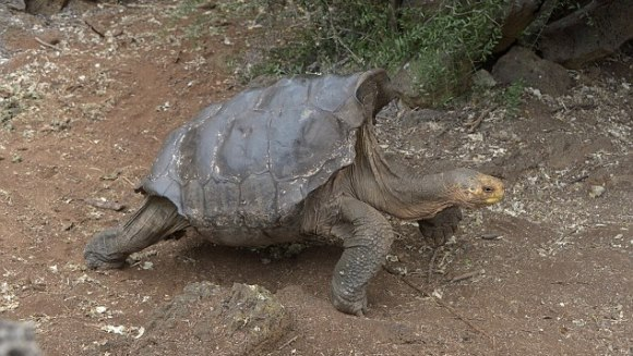 O ţestoasă cu un formidabil apetit sexual şi-a salvat specia de la dispariţie - VIDEO