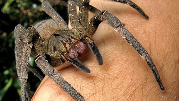 Păianjen care provoacă erecţie de patru ore, iar apoi ucide, găsit într-un ciorchine de banane