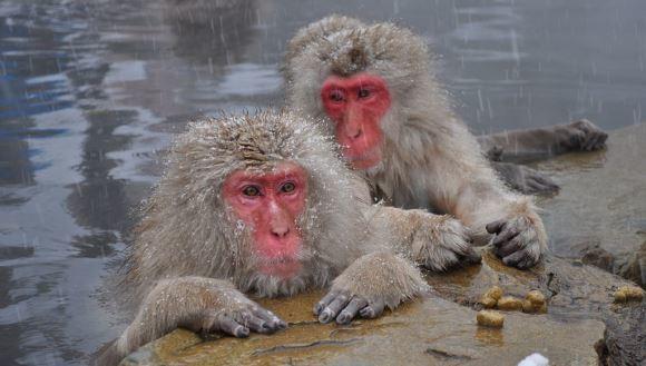 """Japonezii au eutanasiat 57 de maimuţe rare. Purtau gene de la o """"specie străină invazivă""""."""