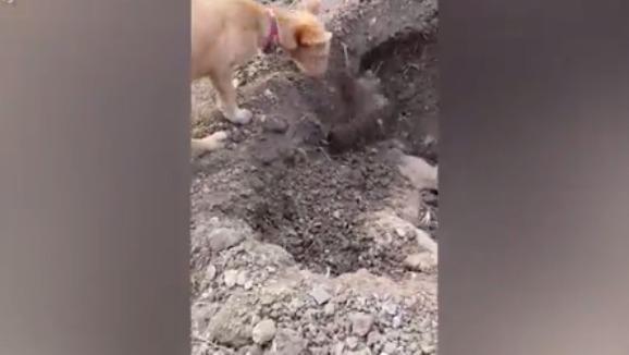 """Imaginile impresionante în care un câine îşi îngroapă """"fratele"""" călcat de maşină - VIDEO"""