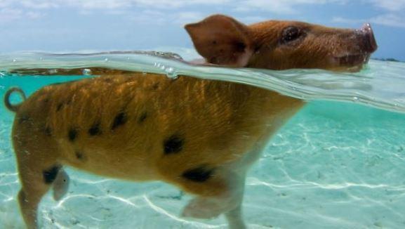 Porci înotători din Bahamas găsiţi morţi, după ce un turist le-a dat să bea alcool