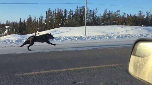 A filmat doi lupi alergând paralel cu maşina ei, care mergea cu 50 km/h – VIDEO