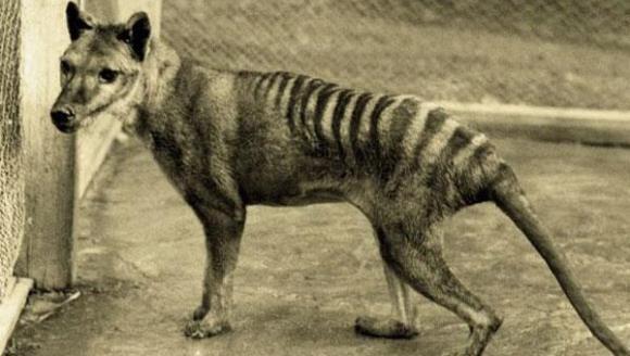 Celebrul Tigru Tasmanian, considerat dispărut de 81 de ani, a fost observat din nou. ''Am verificat de două ori''