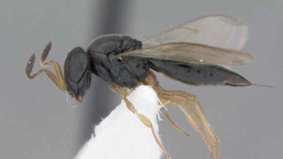 Au fost descoperite 15 specii de viespi. Stilul de viaţă este înfricoşător