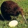 Pasarea Kiwi