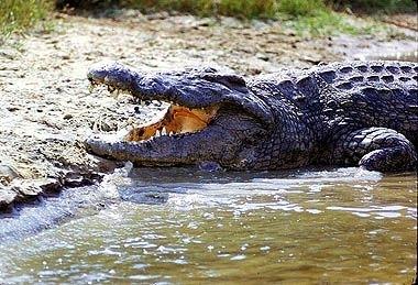Crocodilul de Nil - Crocodylus niloticus