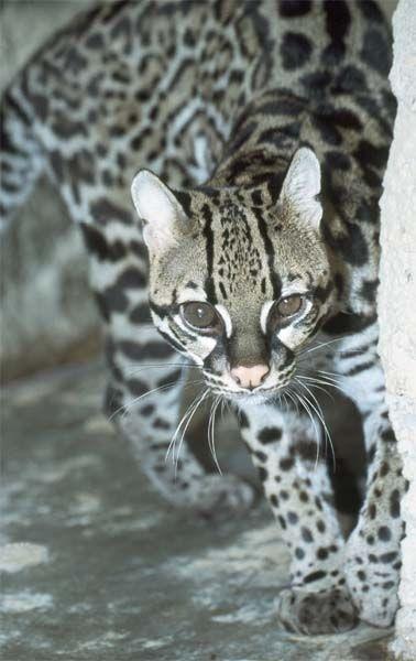 Felis paradalis sau Leopardus pardalis