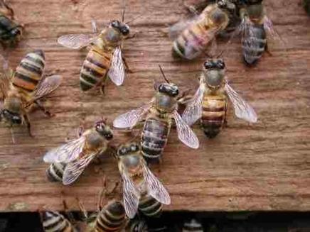 Albinele