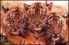 Comportamentul de grup la animalele salbatice
