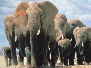 Elefantul African si Indian