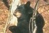 Specii de ursi Ursul negru (american)