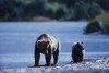 Specii de ursi Ursul brun