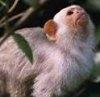 Marmosetul sau maimuta pigmeu