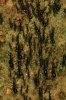 Furnicile-legionar, o armata de temut
