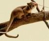 Kinkajou sau ursul de miere