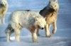 Lupul de tundra