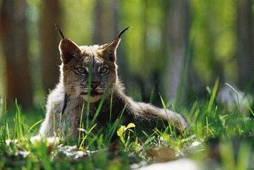 Rasul (Lynx lynx)