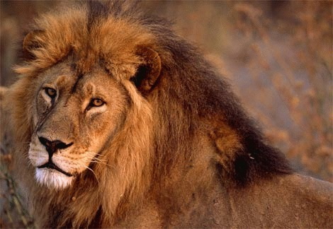 Leul (Panthera Leo)