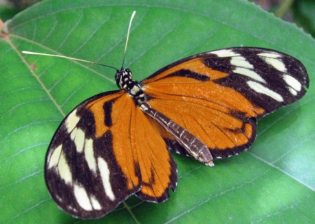 Fluturele Heliconia