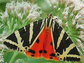 Fluturele tigru de Jersey (Callimorpha quadripunctaria)