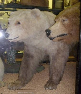 Grizzly - ursul polar