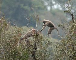 Kipunji - O noua specie de maimute este deja pe cale de disparitie