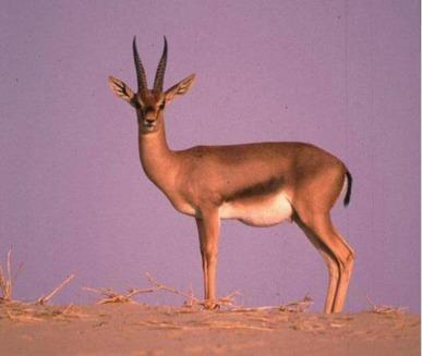 Gazela (Gazella)
