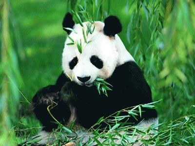 De ce mananca ursii panda bambus?