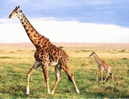 Girafa (Giraffa camelopardalis)